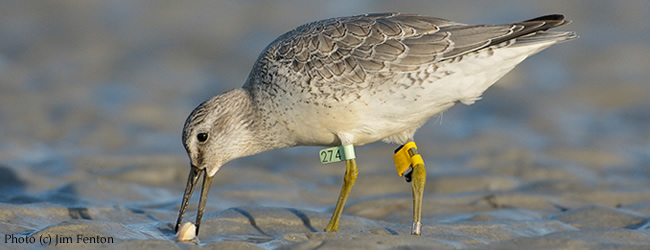 Red Knot conservation: lend your voice to the effort!