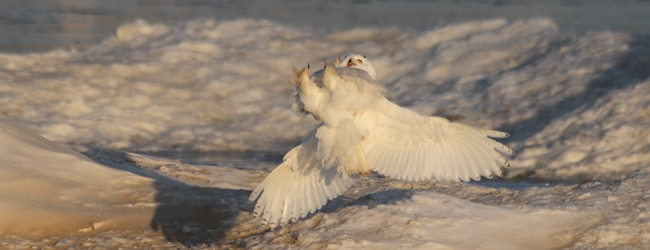 The 2013 Snowy Owl Invasion: It's getting crazier by the minute