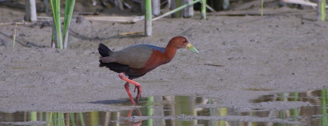 ABA Checklist Committee Adds Rufous-necked Wood-Rail to ABA Checklist