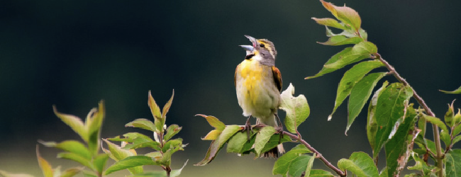 Happening NOW: Dickcissels on the Move